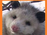 Opossum (Former Modsupial)