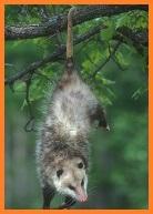 Opossum Avatar Premium
