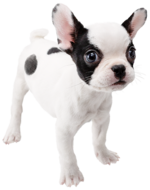 Art Bouledogue français Nintendogs