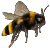 BumblebeeTransparent