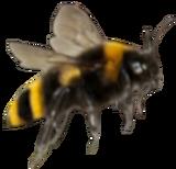BumblebeeTransparent