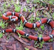 Sinaloan-milk-snake