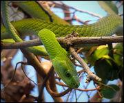 East-African-Green-Mamba