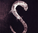 Lachrymose Leech