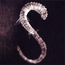 220px-Lachrymose leech