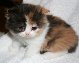 Calico-Kitten