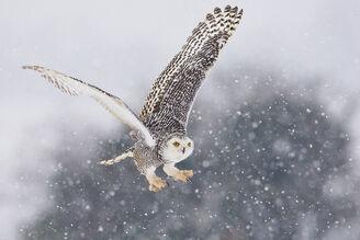 Sky's owl