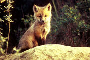 Baby-red-fox