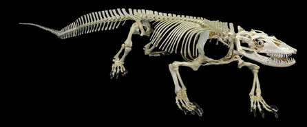 Komodo-dragon-skeleton-lg