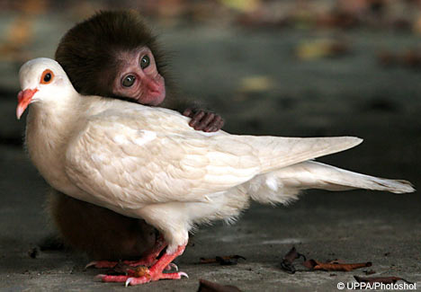 File:Macaque-monkey-pigeon1.jpg