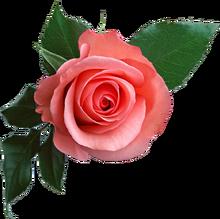 Rose PNG637