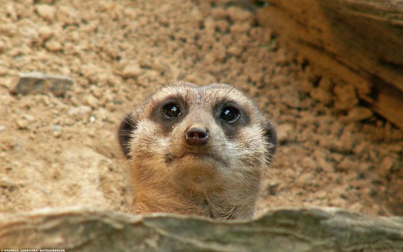 Meerkat Peek