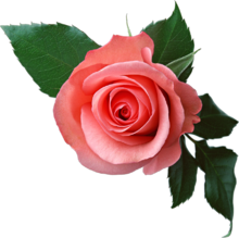 Rose PNG6377