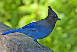 Stellers jay - natures pics