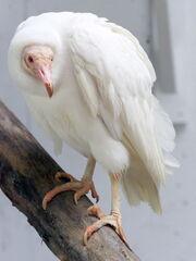 AlbinoVulture