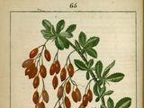 Fruit de berbéris