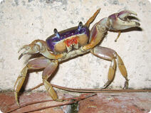 Fiddlercrab