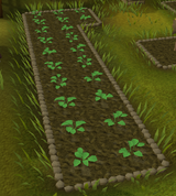 Strawberries grow