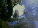 Haunted Henry Sound Ideas, BIRD, TAWNY OWL - TAWNY OWL, STRIX ALUCO, BIRD, DIGIFFECTS