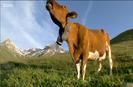 Wild & Weird Sound Ideas, COW - SINGLE MOO, ANIMAL 02
