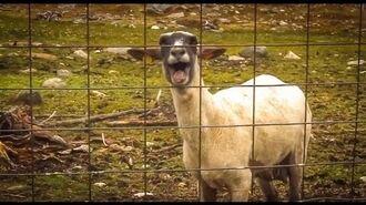 The Screaming Sheep (Original Upload)