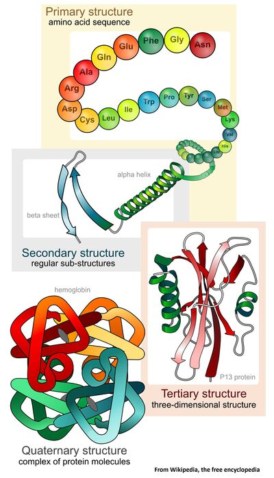 Main protein structure levels en svg Wikipedia 2000px