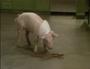 Bakin Bacon w Macon 5