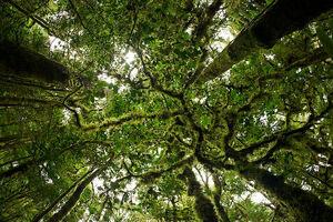 Wiega Tree