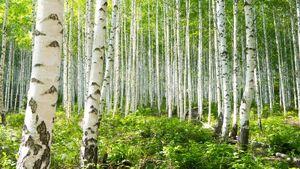 Haven Birch Forest 2