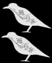 BirdRespiration
