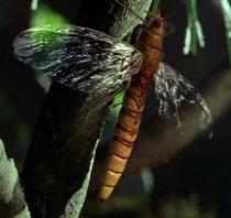 Falconfly