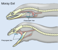 Pharyngeal jaws of moray eels