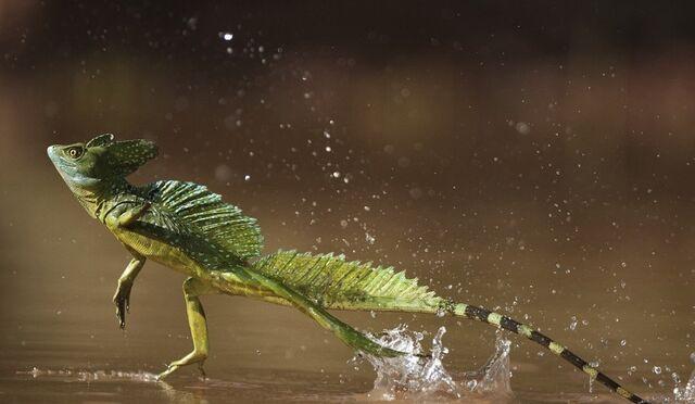 File:Jesus-lizard-running-on-water-basilisk.jpg