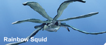 Rainbow squid