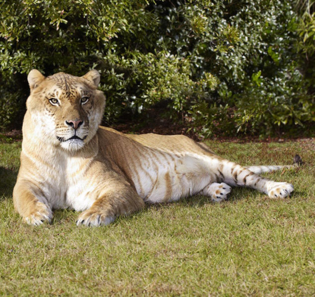 Liger (New Pleistocene) | Speculative Evolution Wiki | Fandom