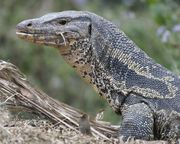 Black Water Monitor