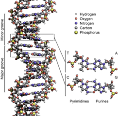 340px-DNA Structure Key Labelled.pn NoBB
