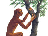 Temperate woodland-dweller