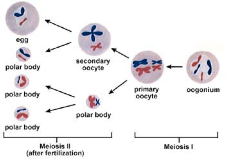 Biology 11 mitosis vs meiosis simplified special op wiki word work file a 3 ccuart Choice Image
