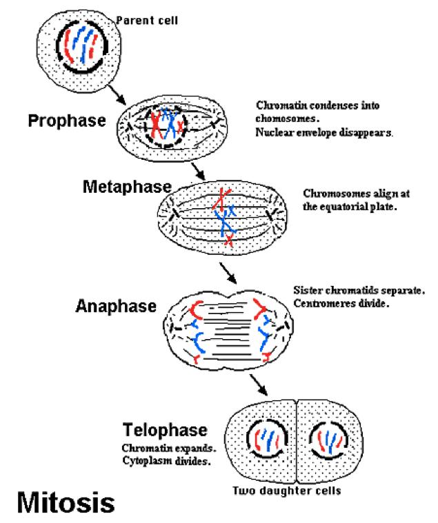 biology 11   mitosis vs meiosis simplified