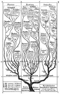 Haeckel Tree of life
