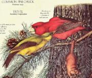 Common Pine Chuck