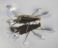 WaterStriders