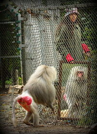 Mirror test with a Baboon