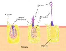 Nematocyst