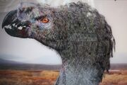 Tyrannornis femelle