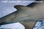 Shark pterygopods