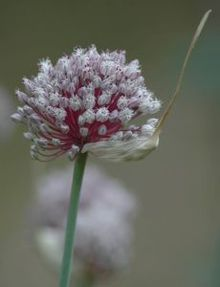 File:Garlic flower head.jpg