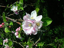 File:Apple tree blossom.jpg