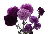 Carnation-purple